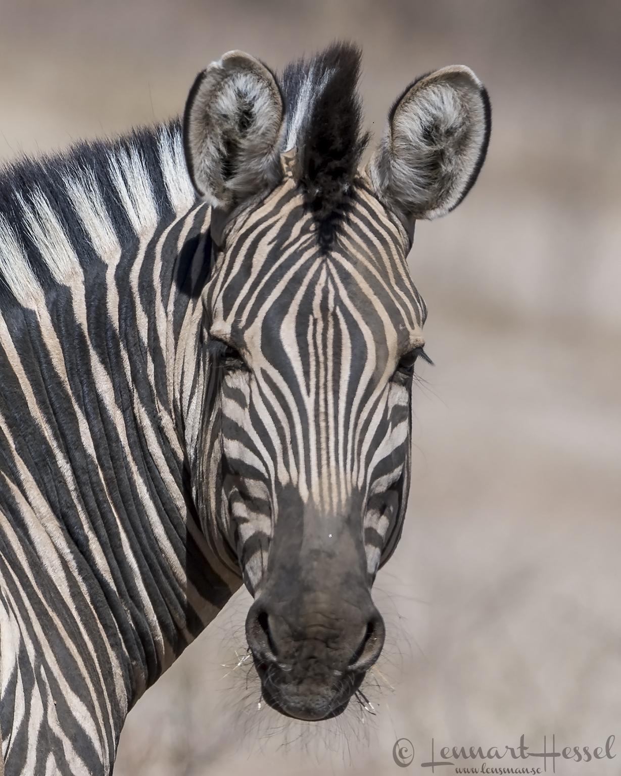 Zebra Mana Pools National Park, Zimbabwe