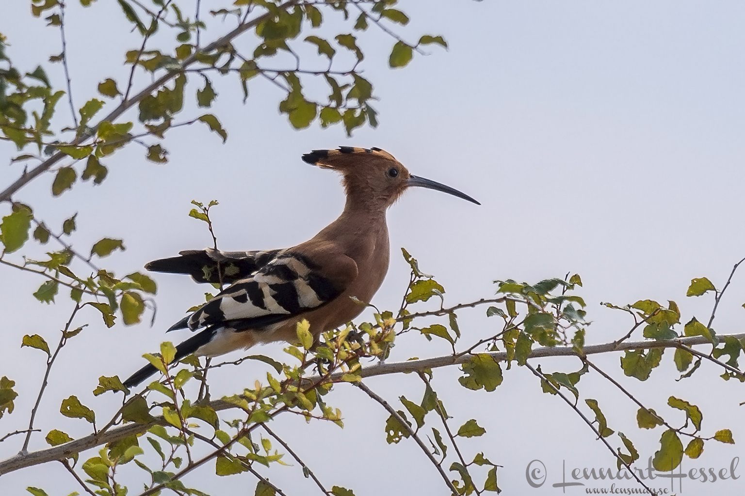 African Hoopoe giants Mana Pools National Park, Zimbabwe