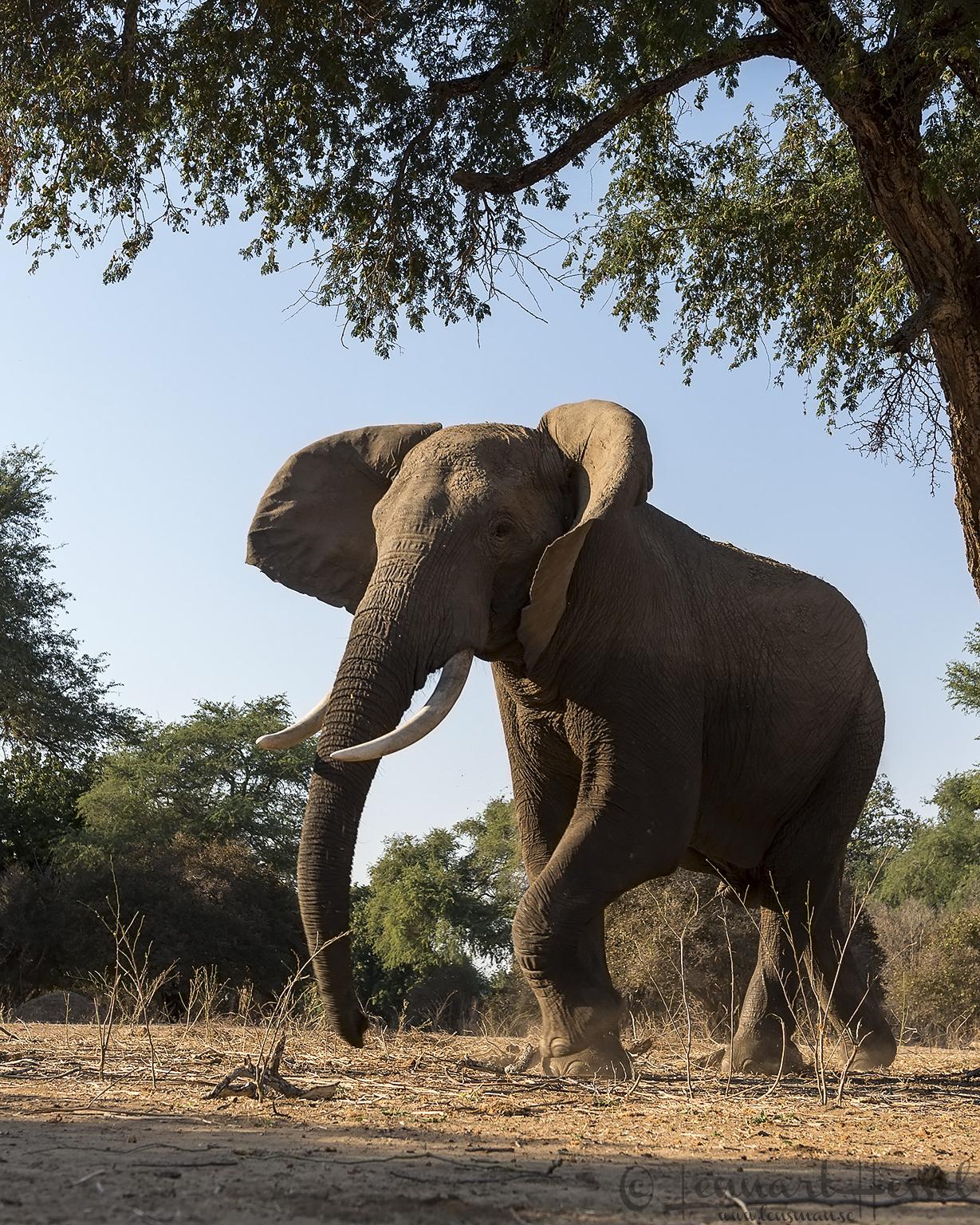 Elephant mock charge giants Mana Pools National Park, Zimbabwe