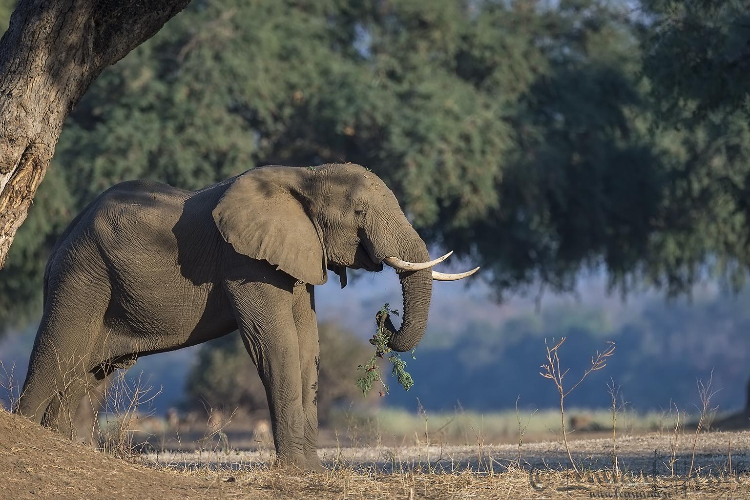 Eating Elephant giants Mana Pools National Park, Zimbabwe