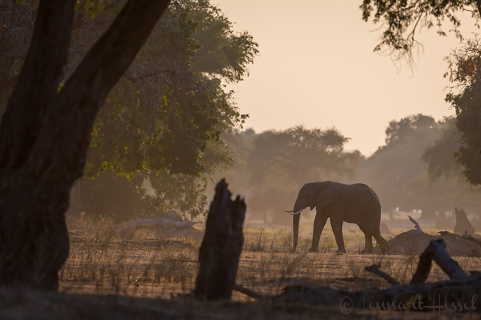 Elephant in habitat giants Mana Pools National Park, Zimbabwe
