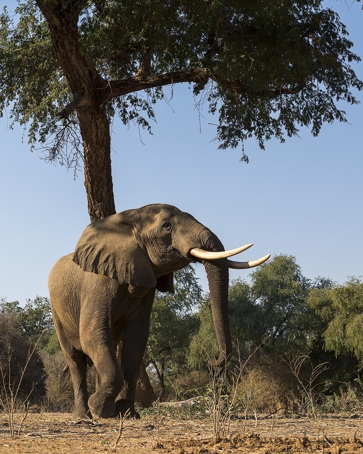 Elephant searching giants Mana Pools National Park, Zimbabwe