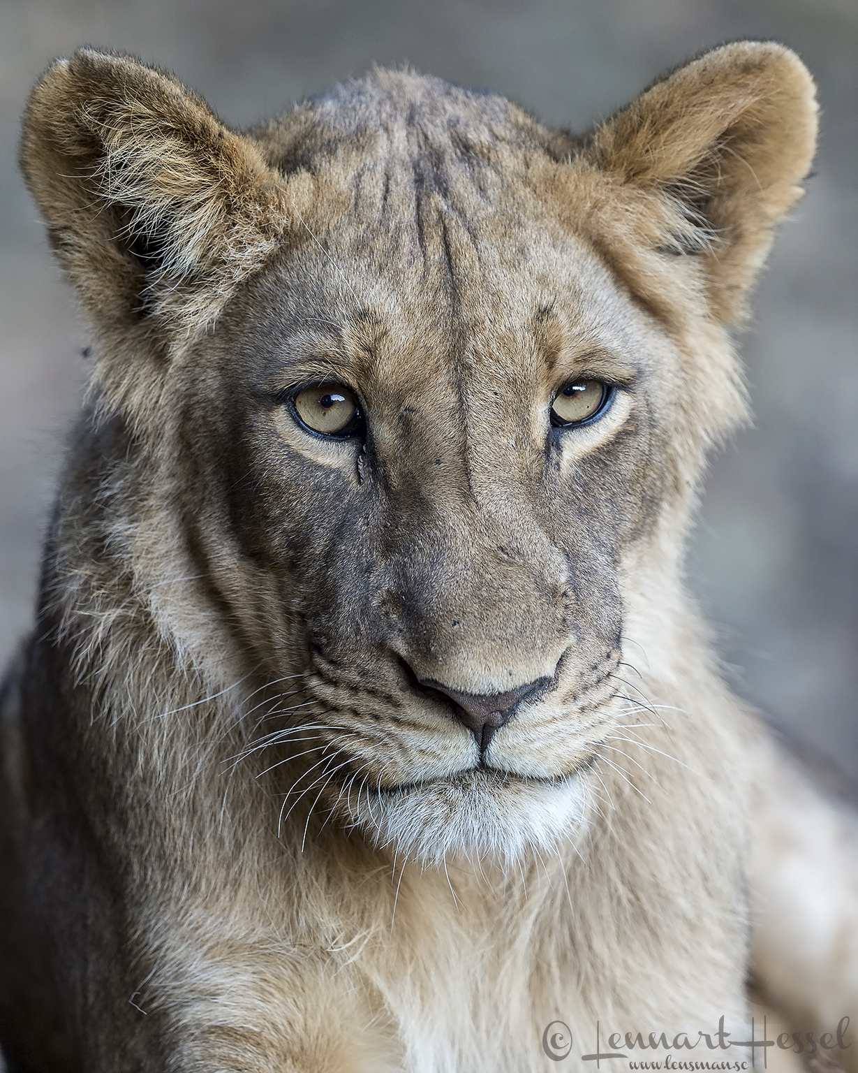 Young male Lion giants Mana Pools National Park, Zimbabwe
