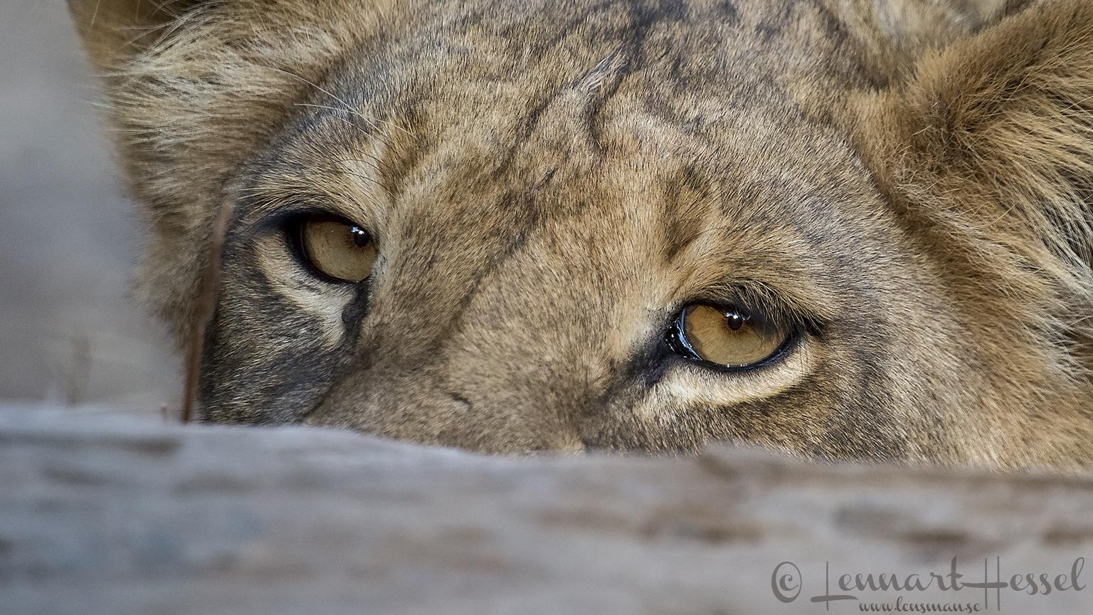 Shy Lion giants Mana Pools National Park, Zimbabwe