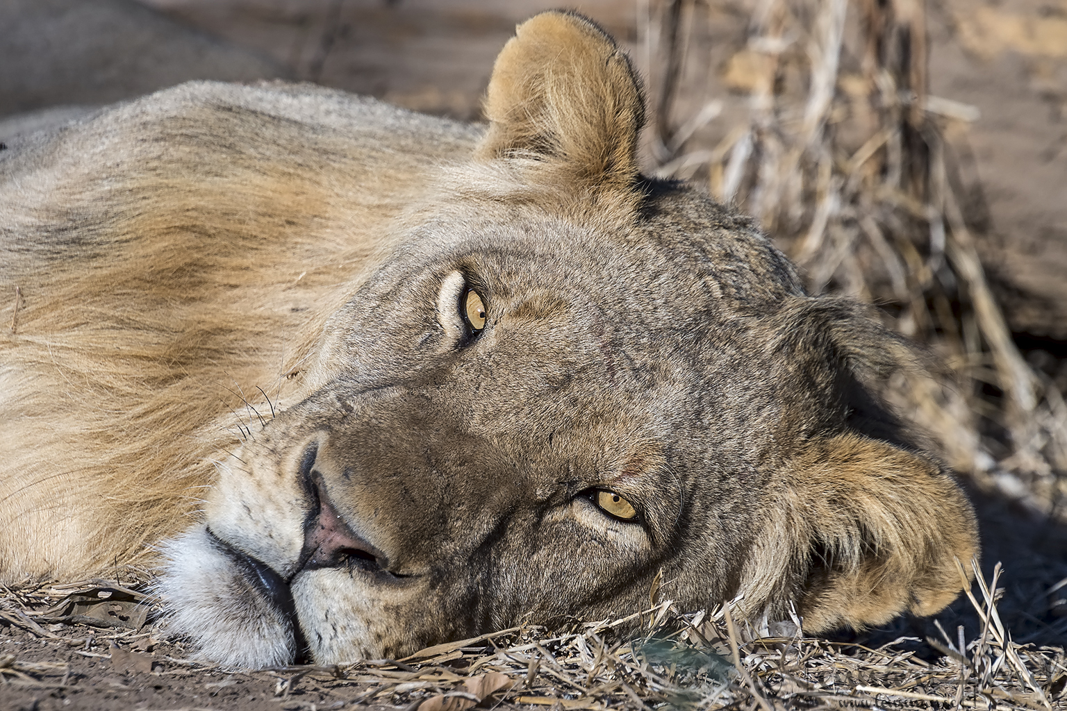 Sleepy lion giants Mana Pools National Park, Zimbabwe