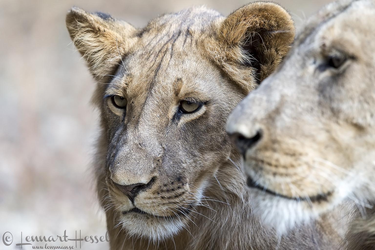 Lions giants Mana Pools National Park, Zimbabwe