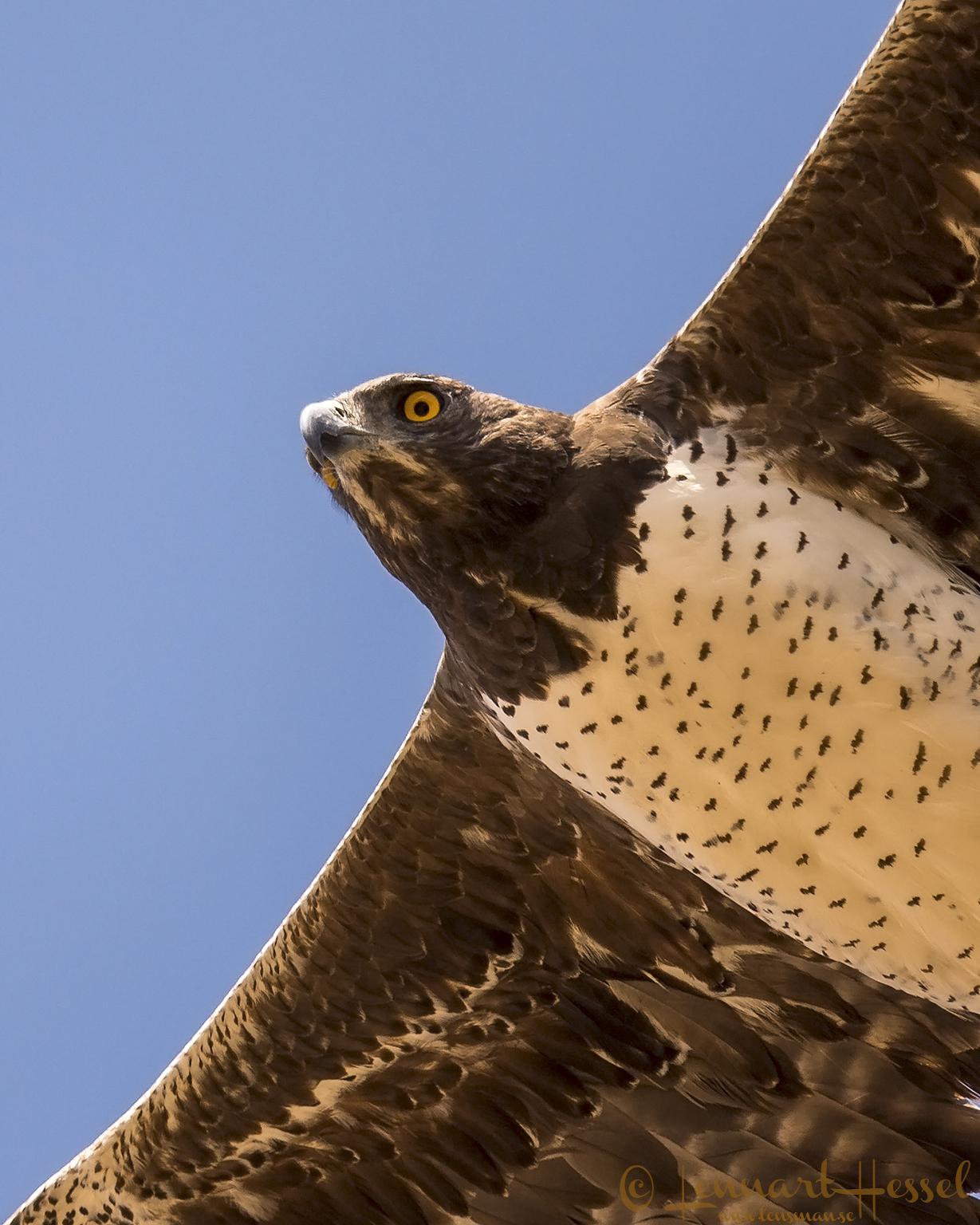 Martial Eagle giants Mana Pools National Park, Zimbabwe