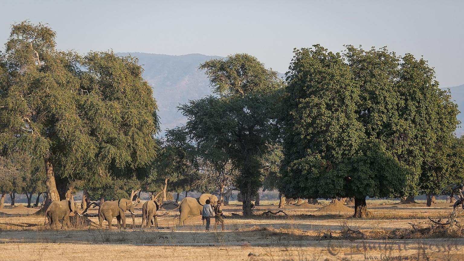 Walking with Elephants giants Mana Pools National Park, Zimbabwe