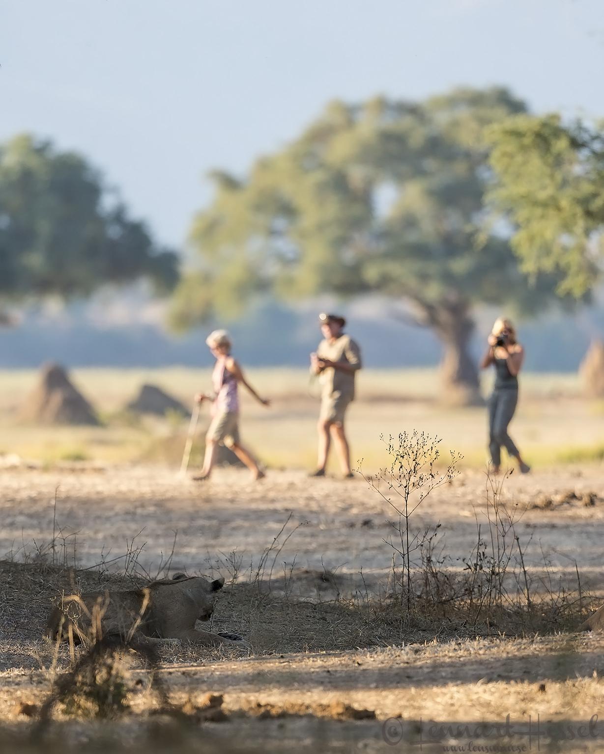Lioness at a game walk Mana Pools National Park, Zimbabwe walking