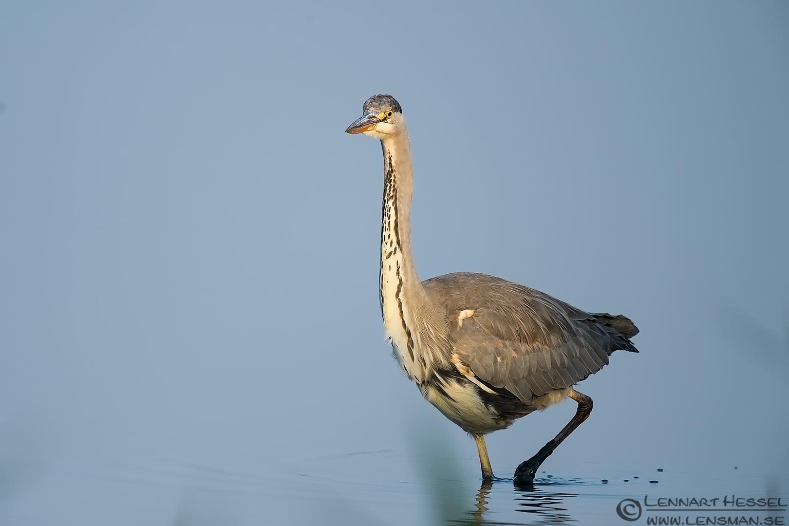 Grey Heron iso
