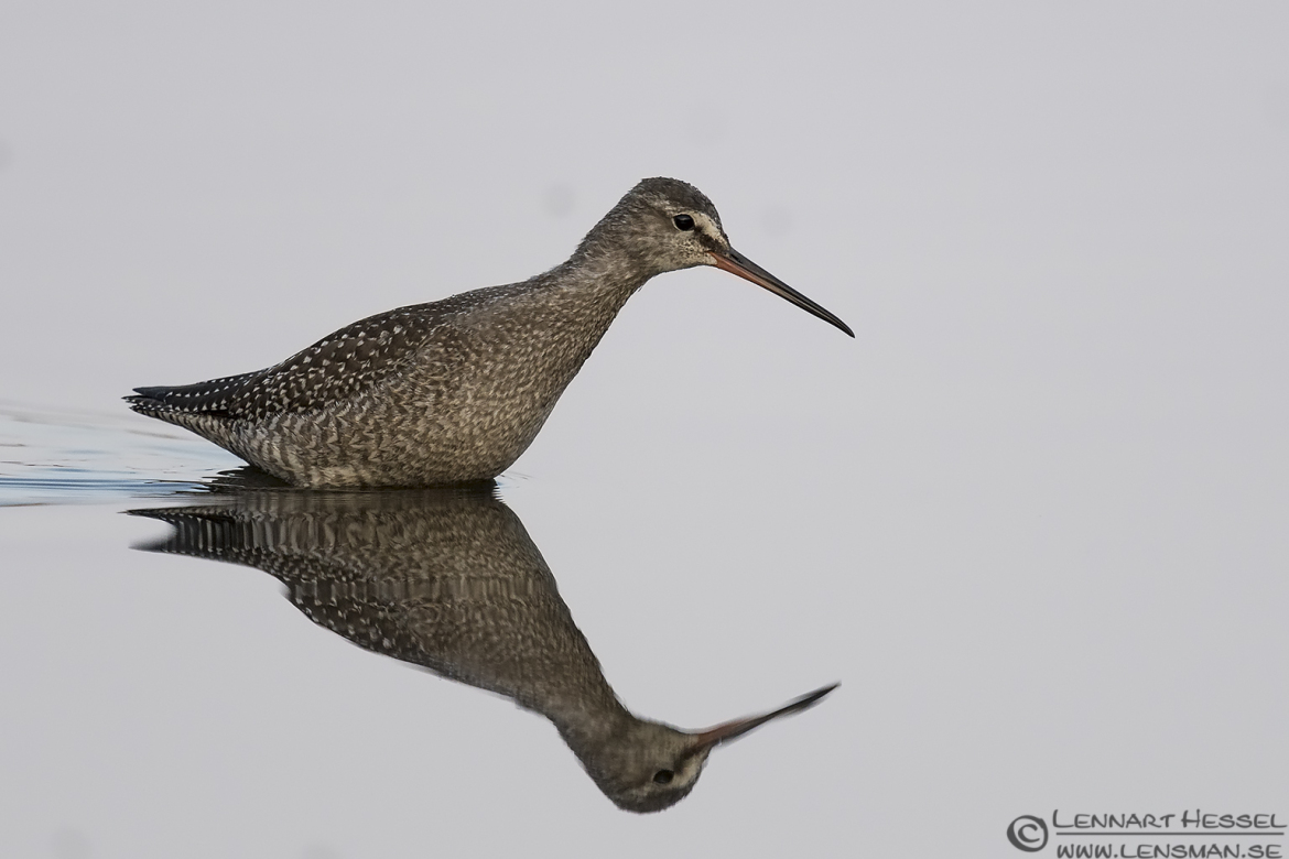Spotted Redshank ISO