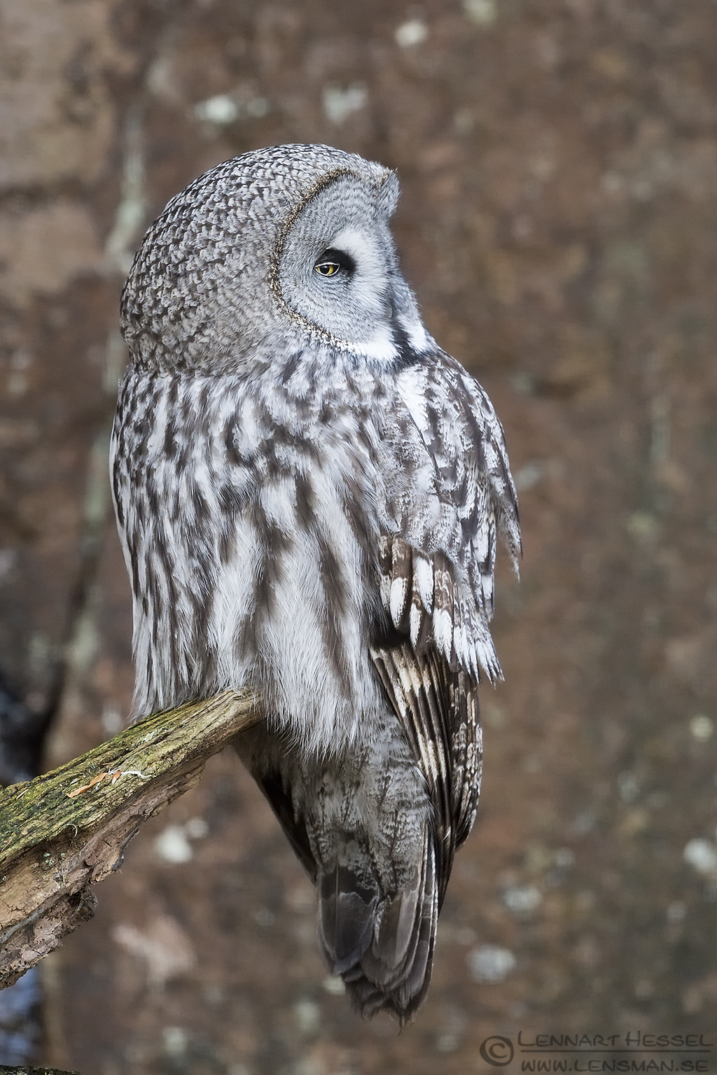 Great grey owl at Nordens Ark