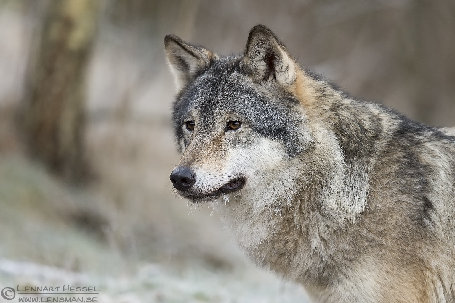 Grey wolf at Nordens Ark