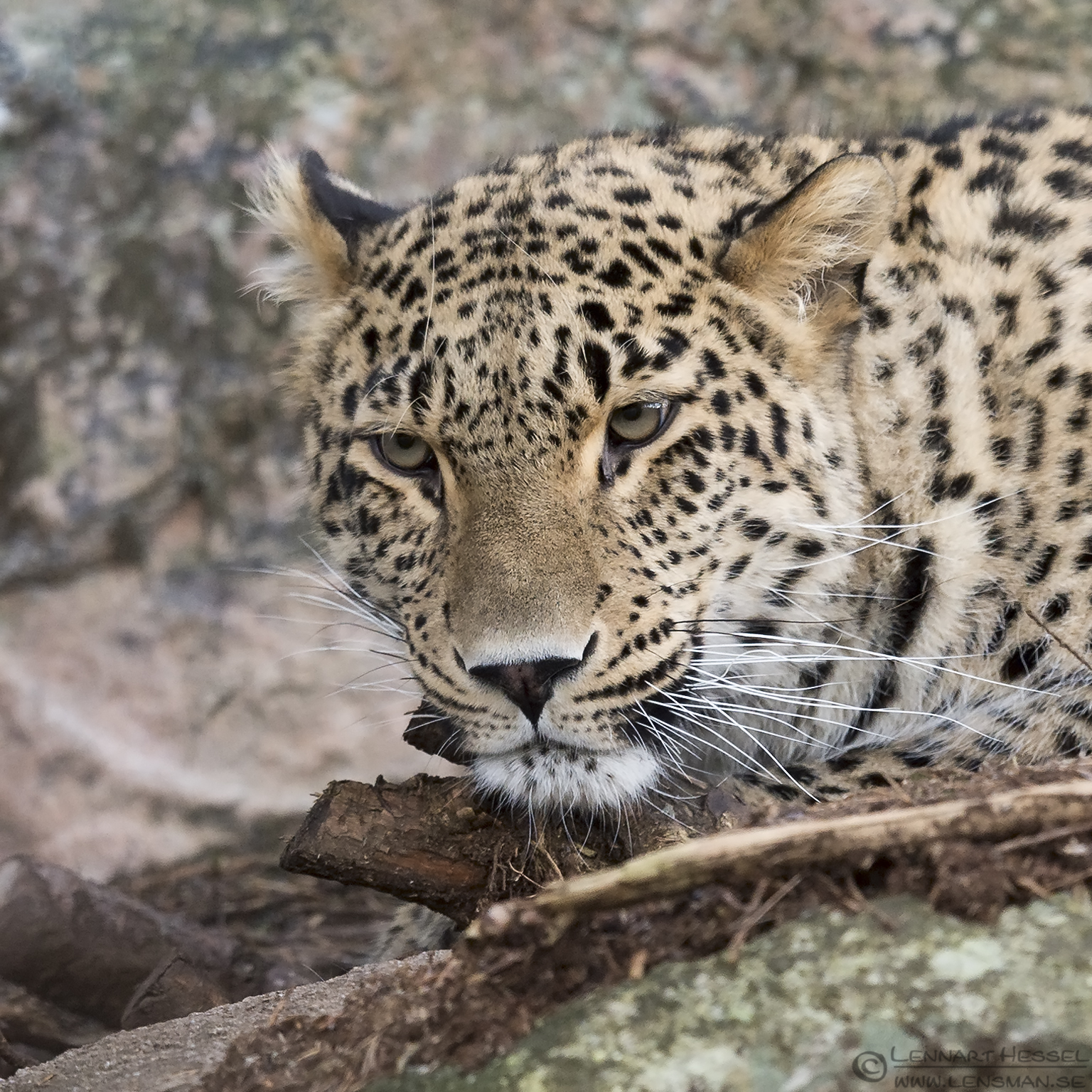 Persian leopard at Nordens Ark