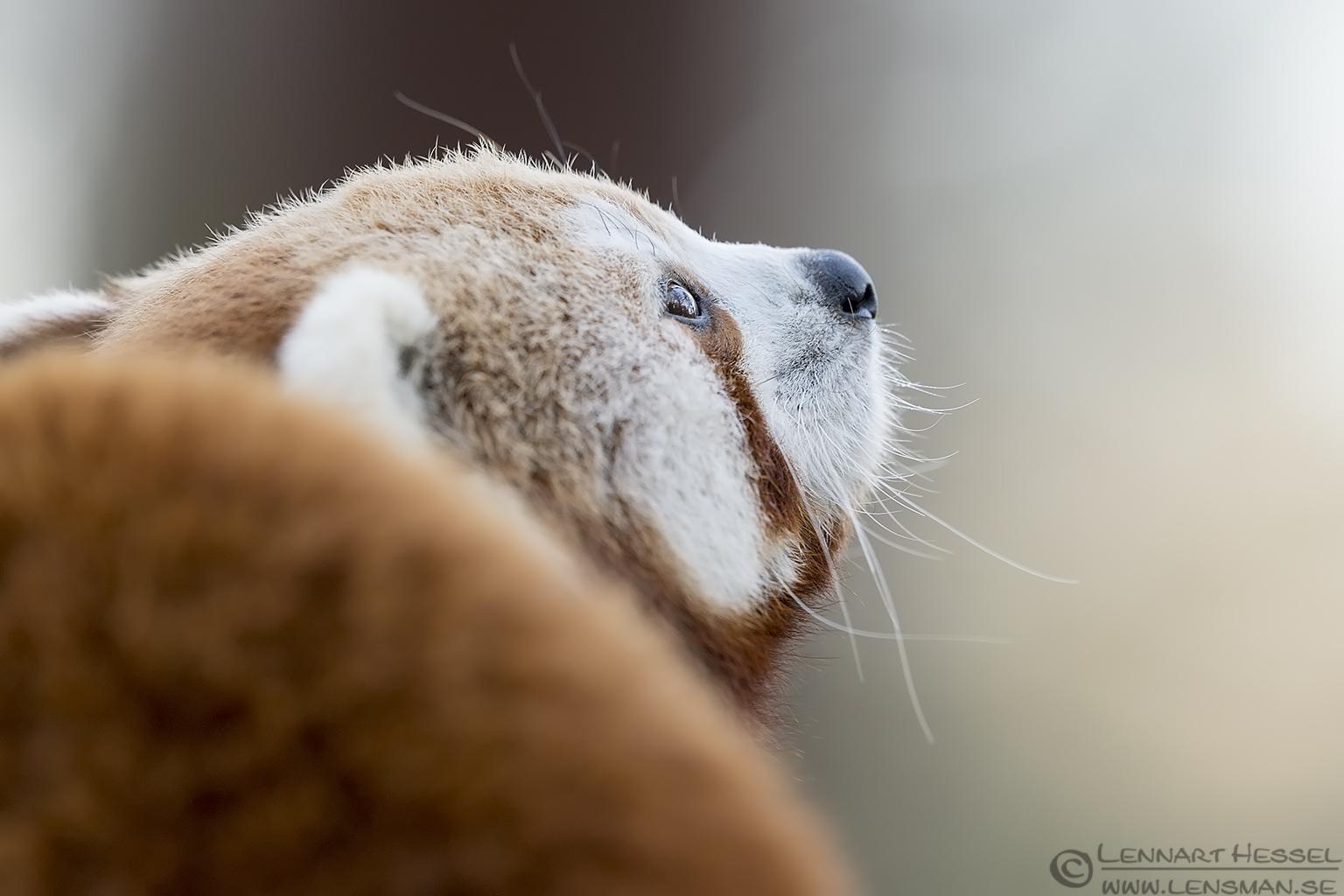 Red panda at Nordens Ark