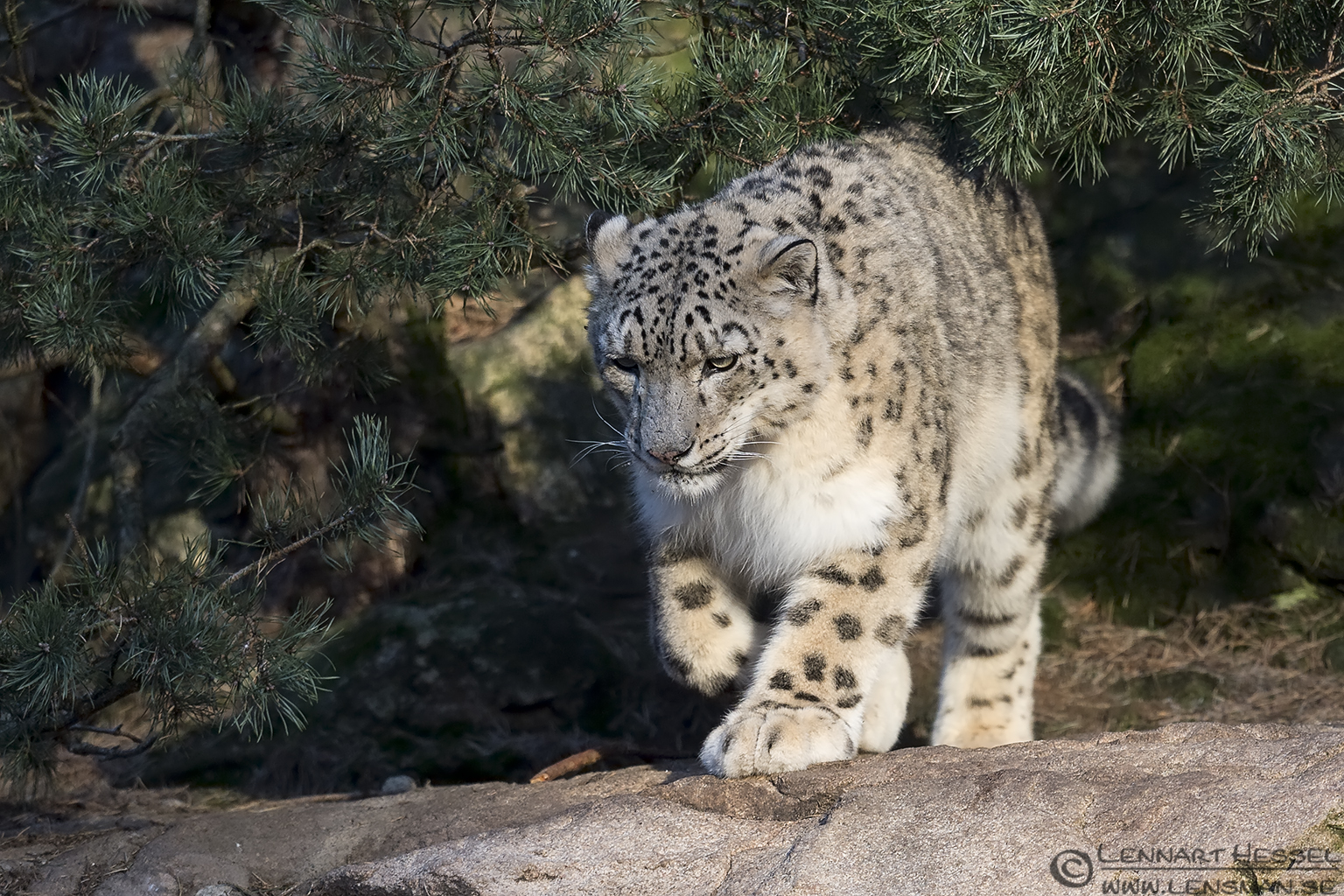 Snow leopard at Nordens Ark