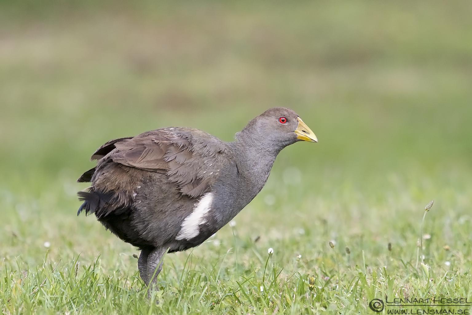 Native Hen Cygnet Tasmania