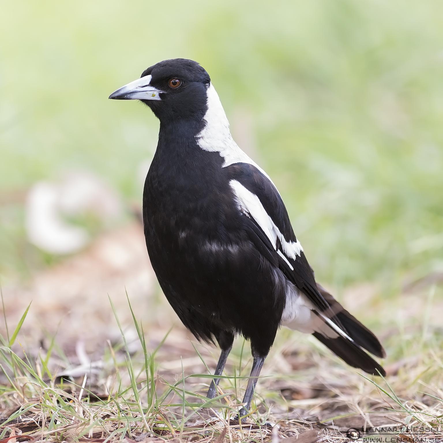 Australian Magpie Hobart Tasmania