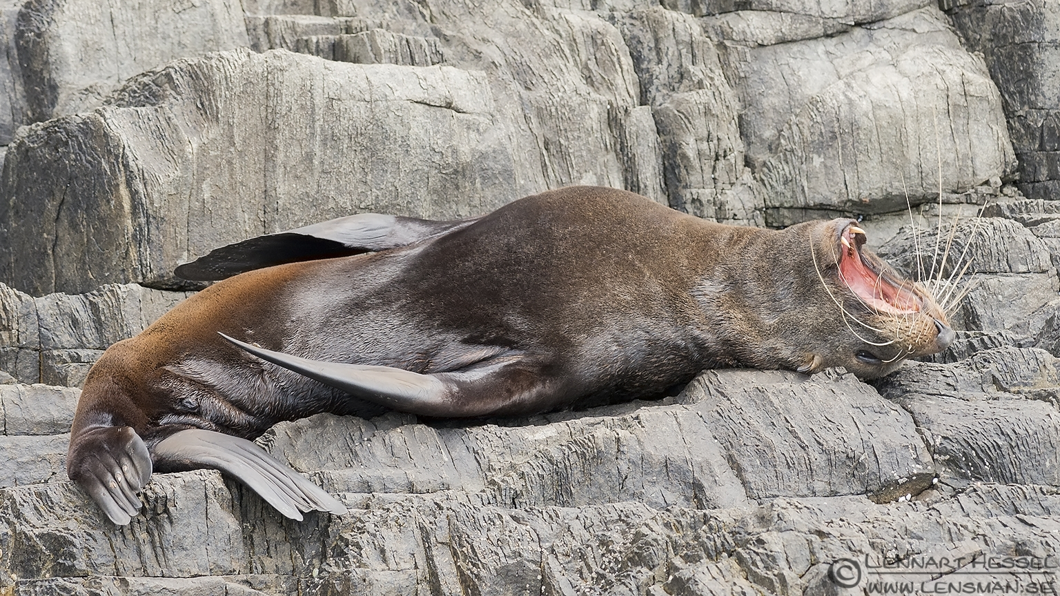 Australian Fur Seal Tasmania