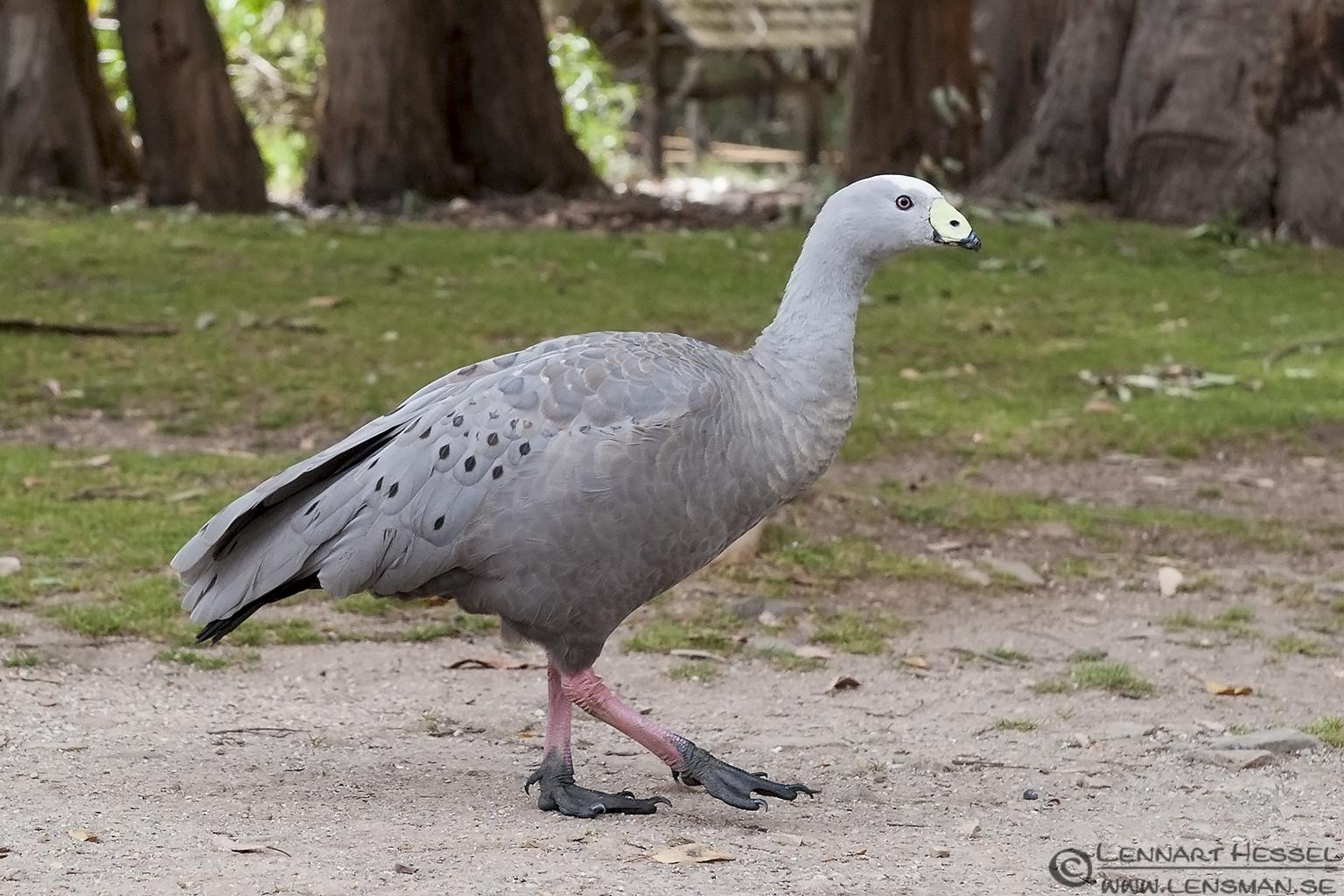 Cape Barren Goose Trowunna Tasmania