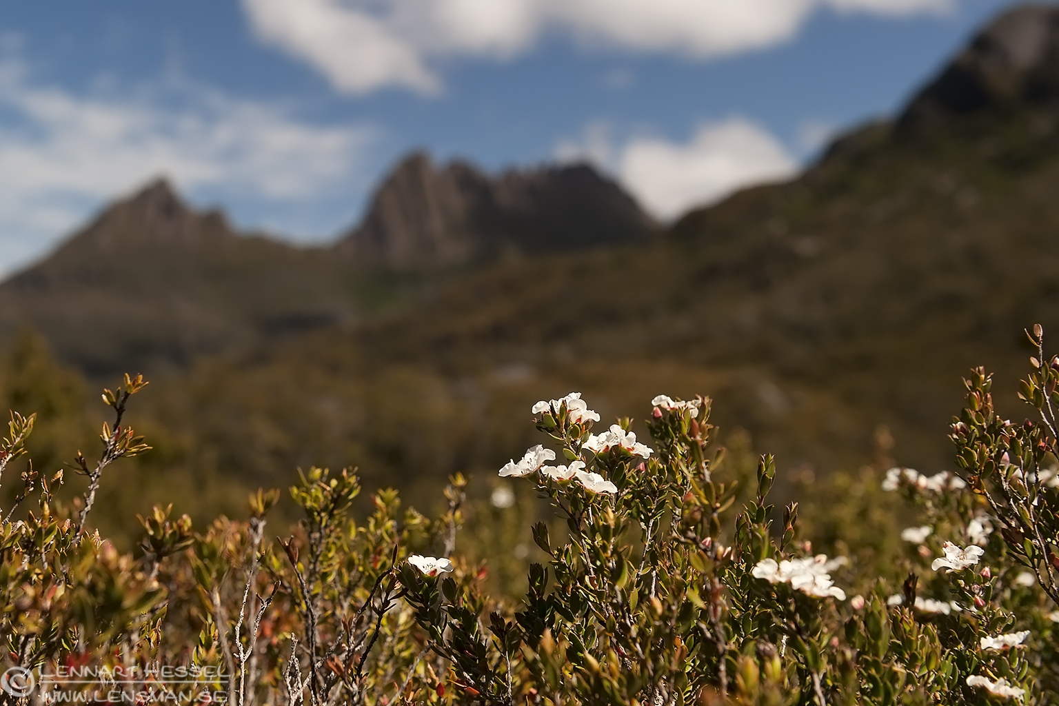 Flowers Cradle mountains Tasmania
