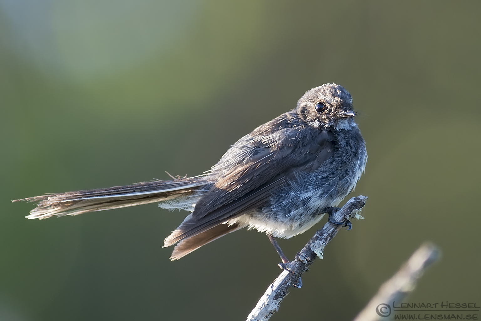 Grey Fantail Narawntapu Tasmania