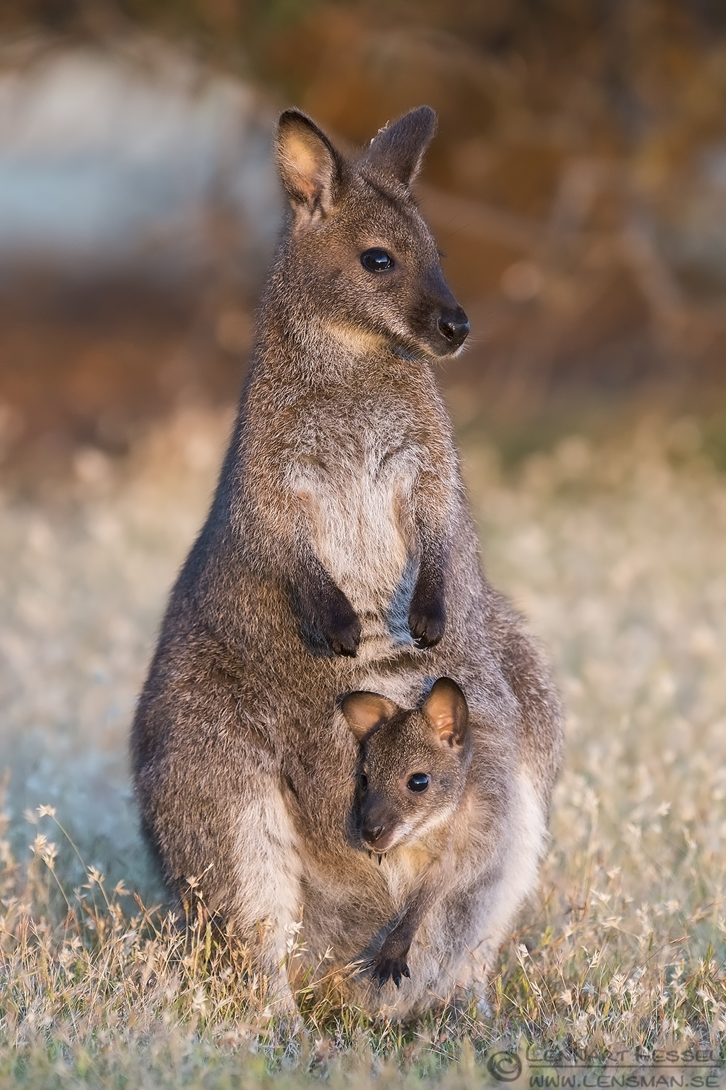 Red-necked Wallaby with joey Narawntapu Tasmania