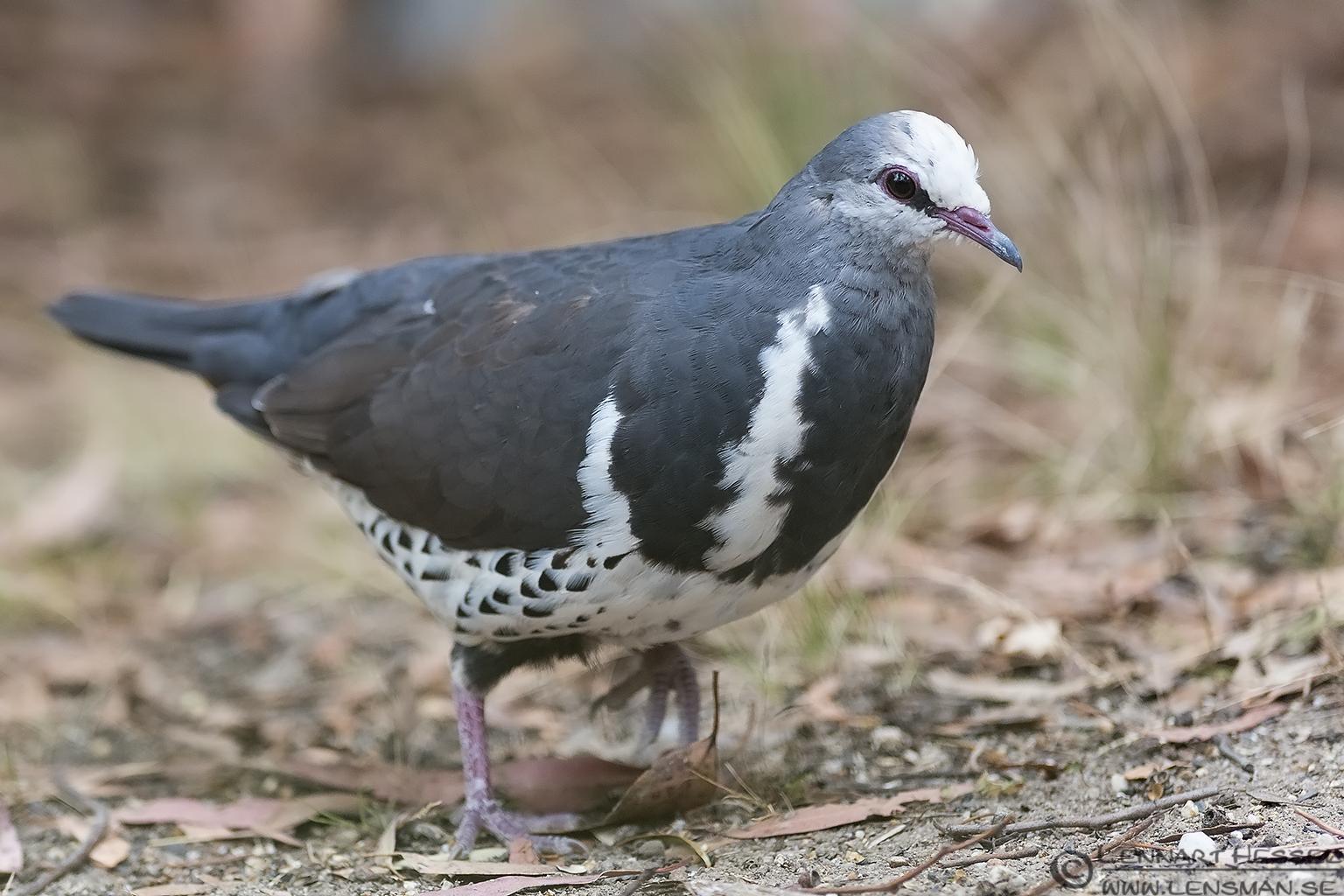 Wonga Pigeon Australia Victoria Lakes Entrance