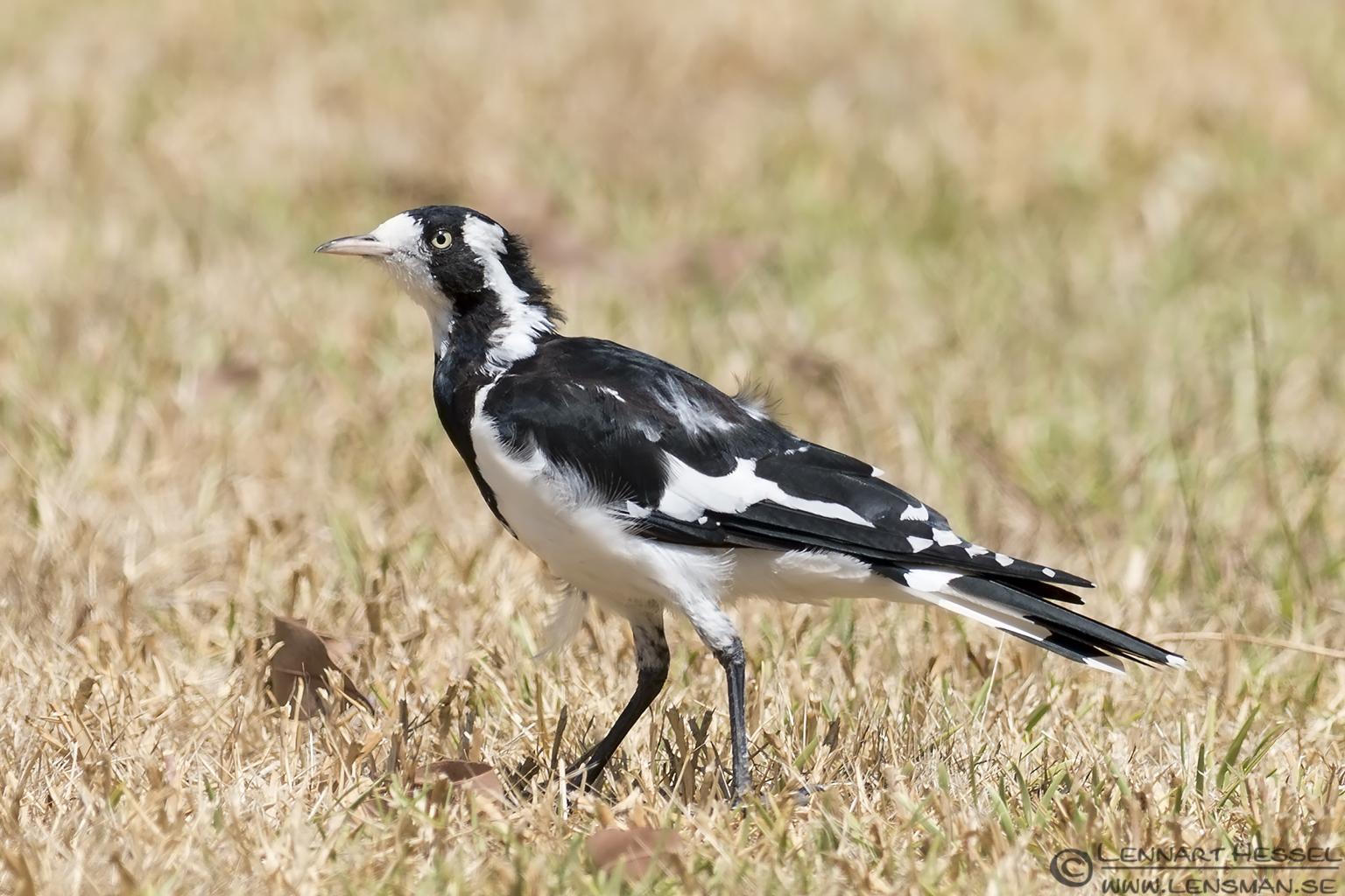 Magpie-lark Australia Victoria Raymond Island