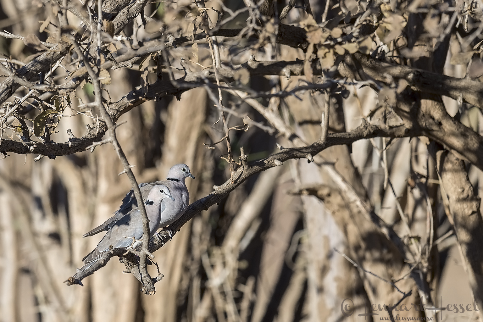 Cape Turtle-doves Mana Pools National Park Zimbabwe