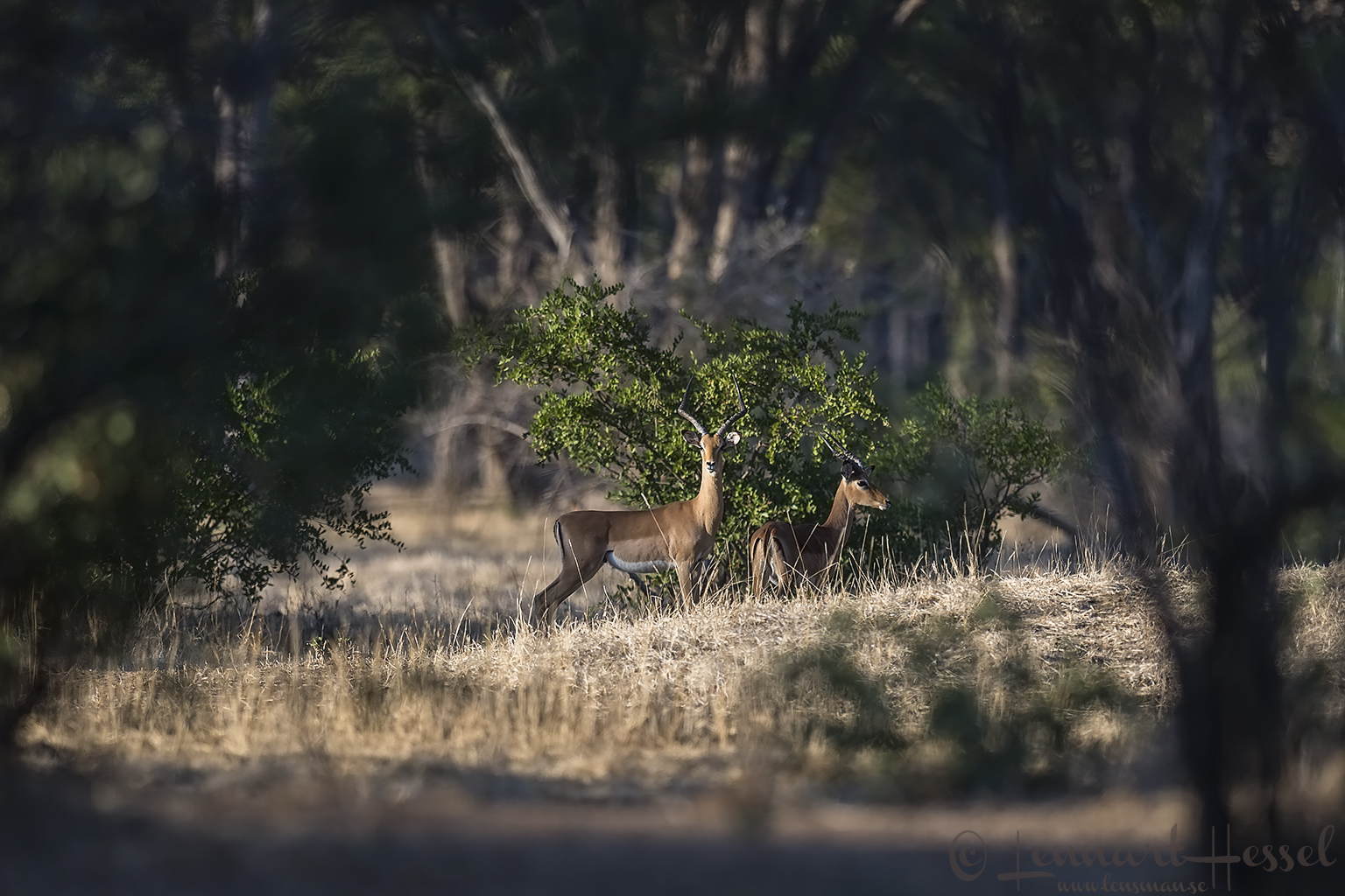 Impalas Mana Pools National Park Zimbabwe