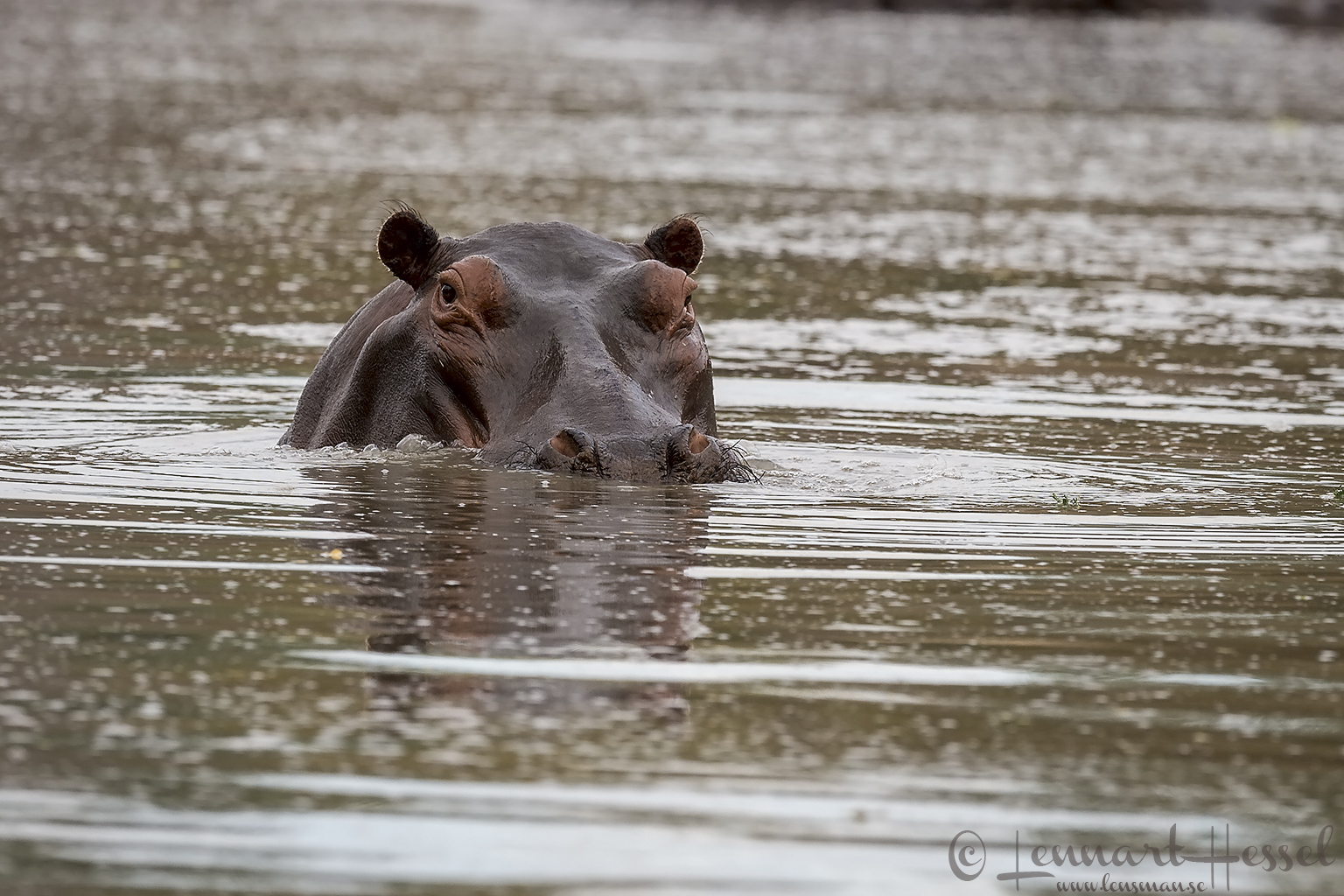 Hippo Mana Pools National Park Zimbabwe