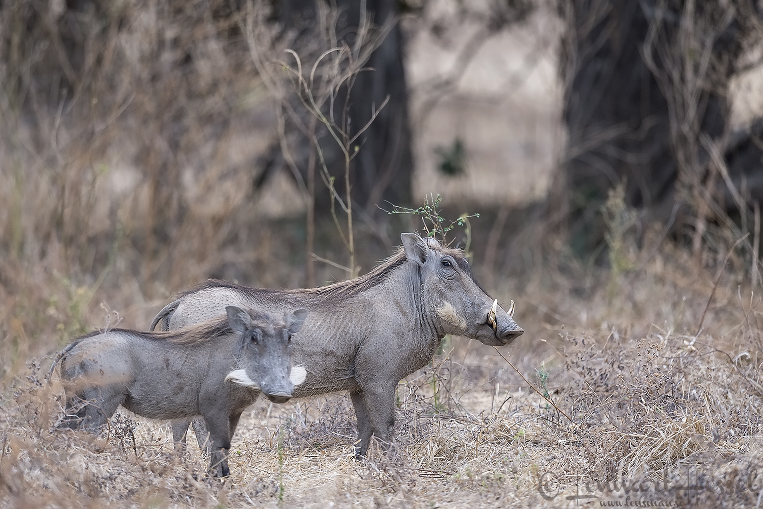 Warthogs Mana Pools National Park Zimbabwe