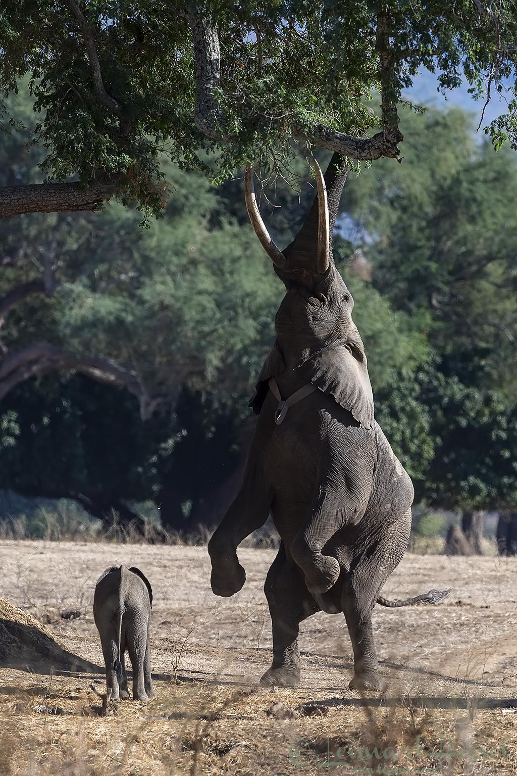 Elephants seen on safari in Mana Pools