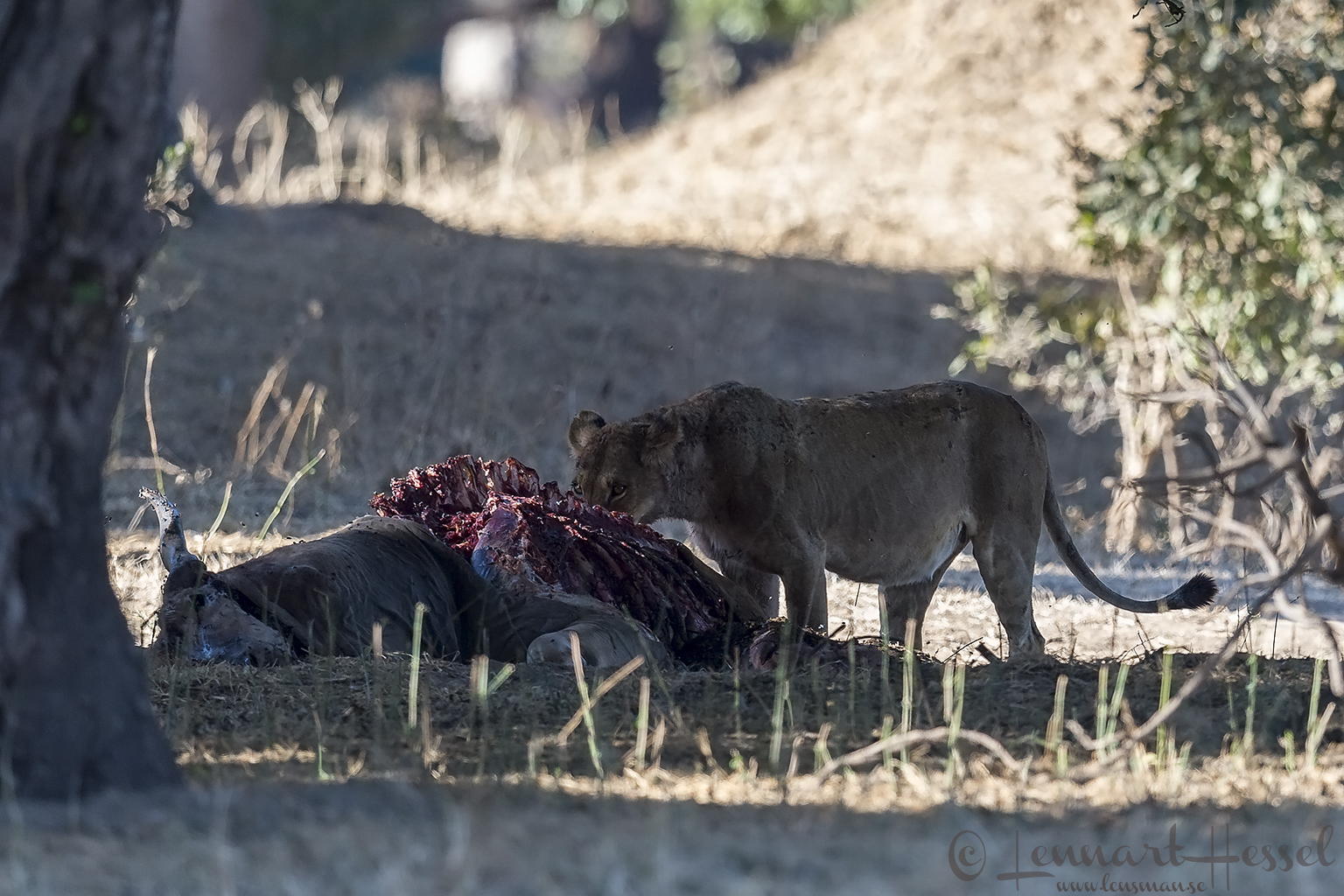 Lioness eatin seen on safari in Mana Pools