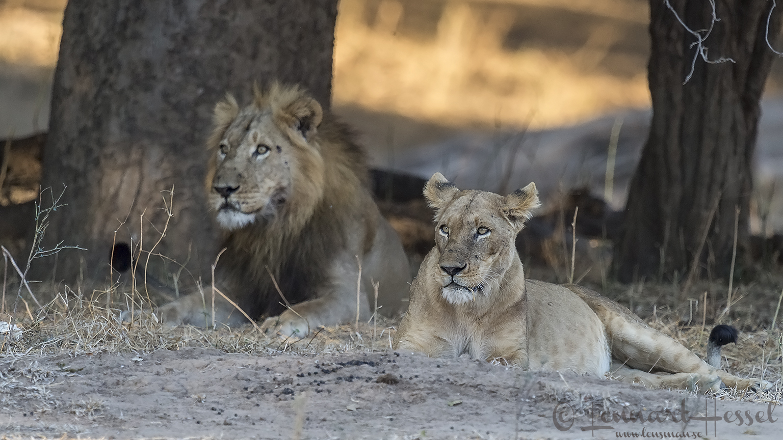 Lions seen on safari in Mana Pools