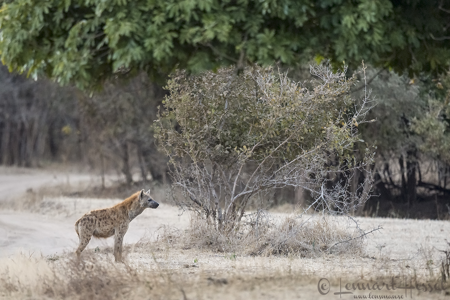 Spotted Hyena seen on safari in Mana Pools