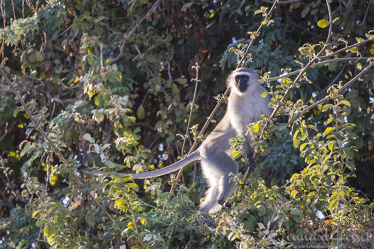 Vervet Monkey Mana Pools National Park Zimbabwe