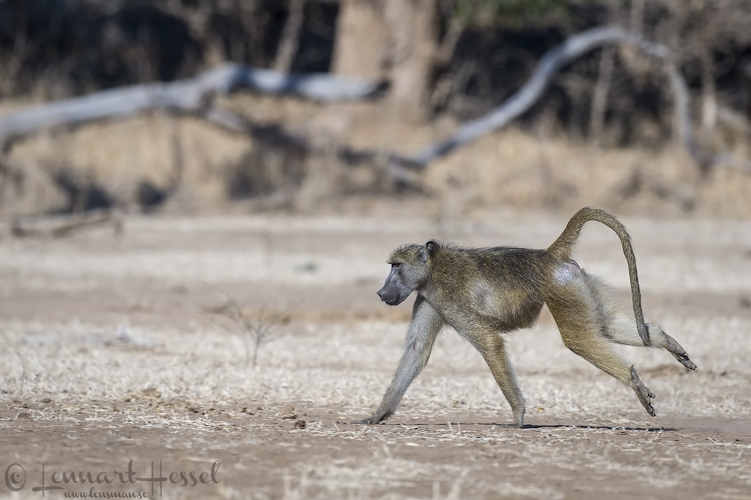 Chacma Baboon Mana Pools National Park Zimbabwe