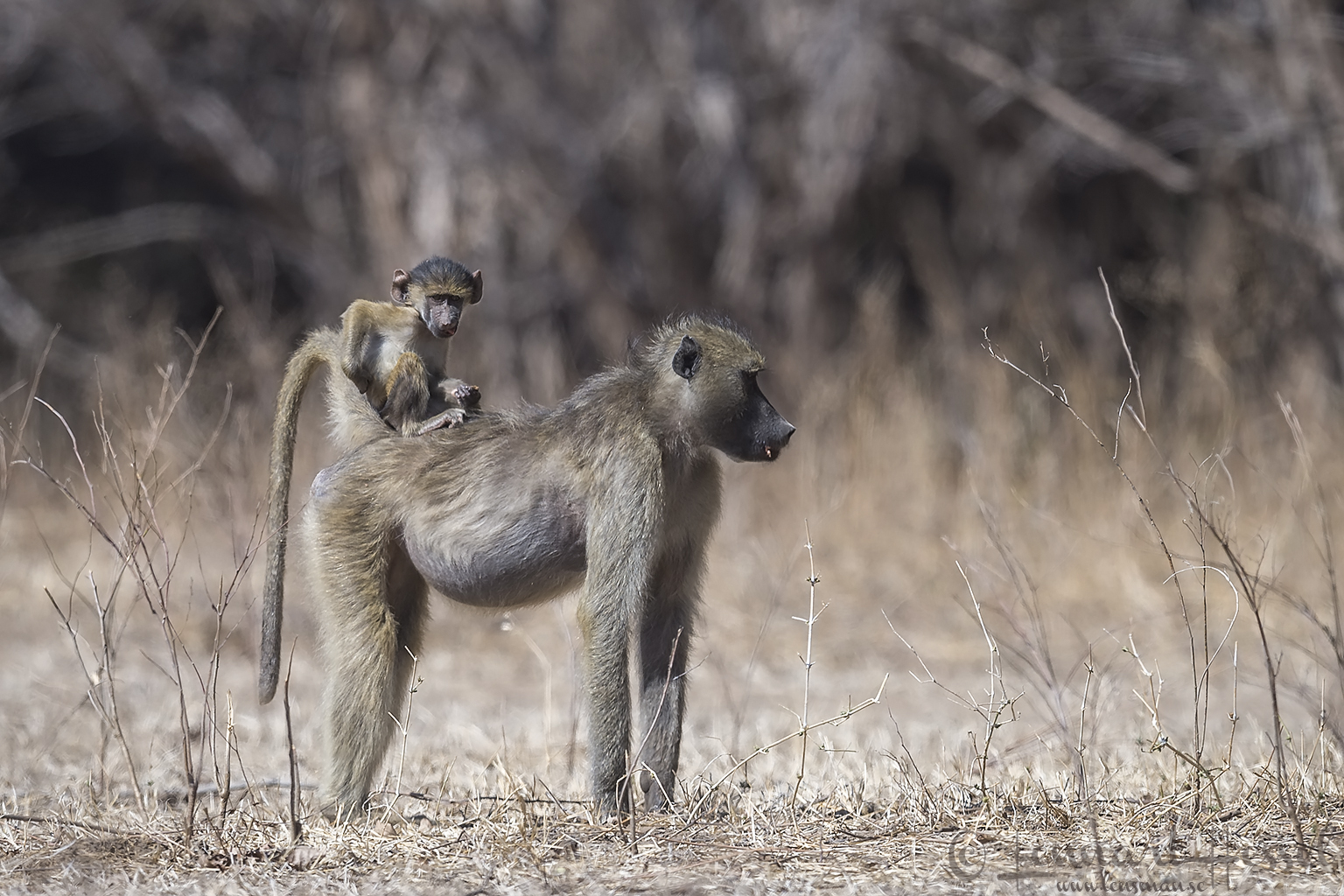 Chacma Baboon with baby Mana Pools National Park Zimbabwe