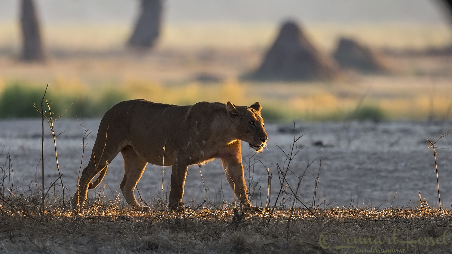 Lioness backlight Mana Pools National Park Zimbabwe
