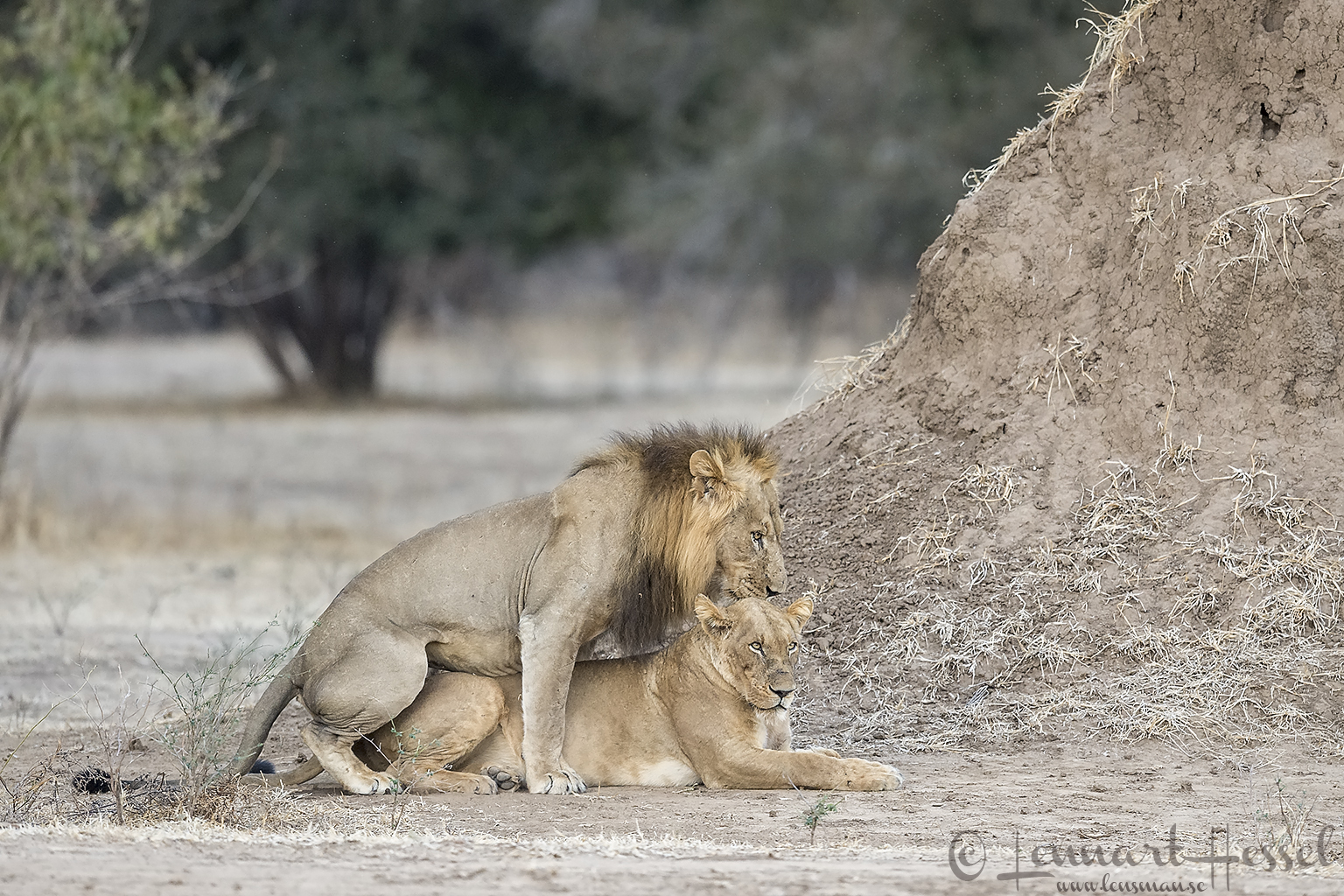 Mating Lions Mana Pools National Park Zimbabwe