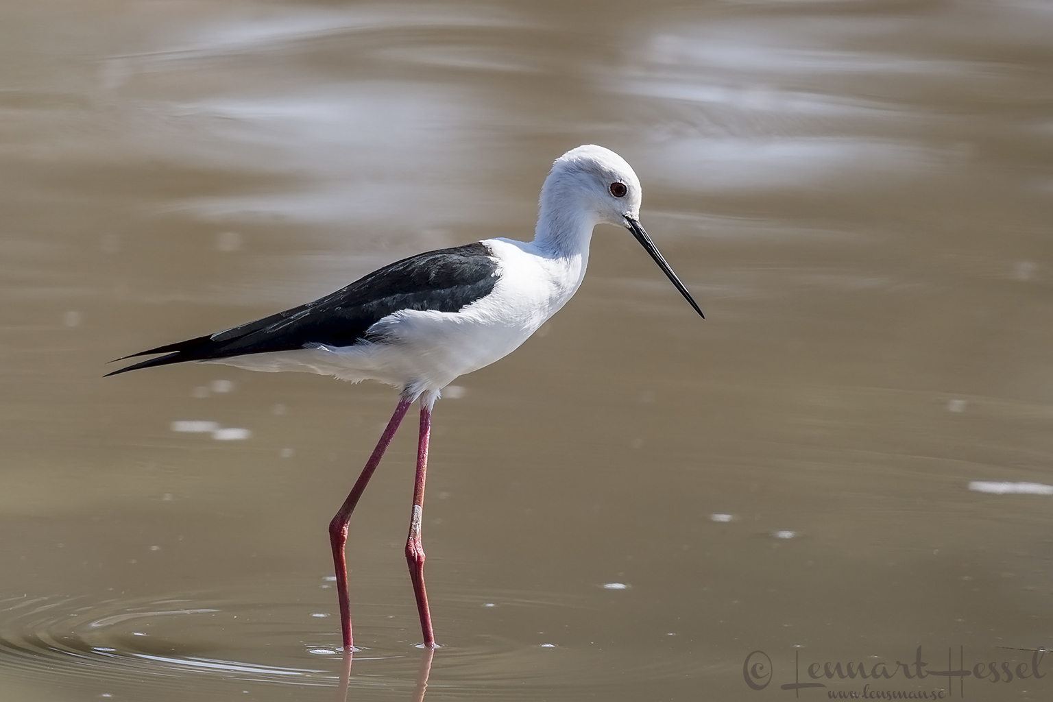 Black-winged Stilt Mana Pools National Park Zimbabwe