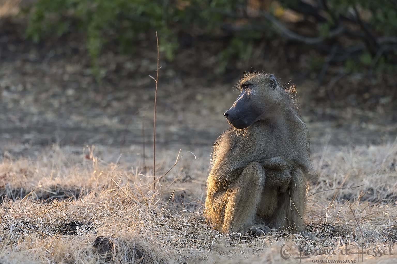 Freezing Chacma Baboon Mana Pools National Park Zimbabwe