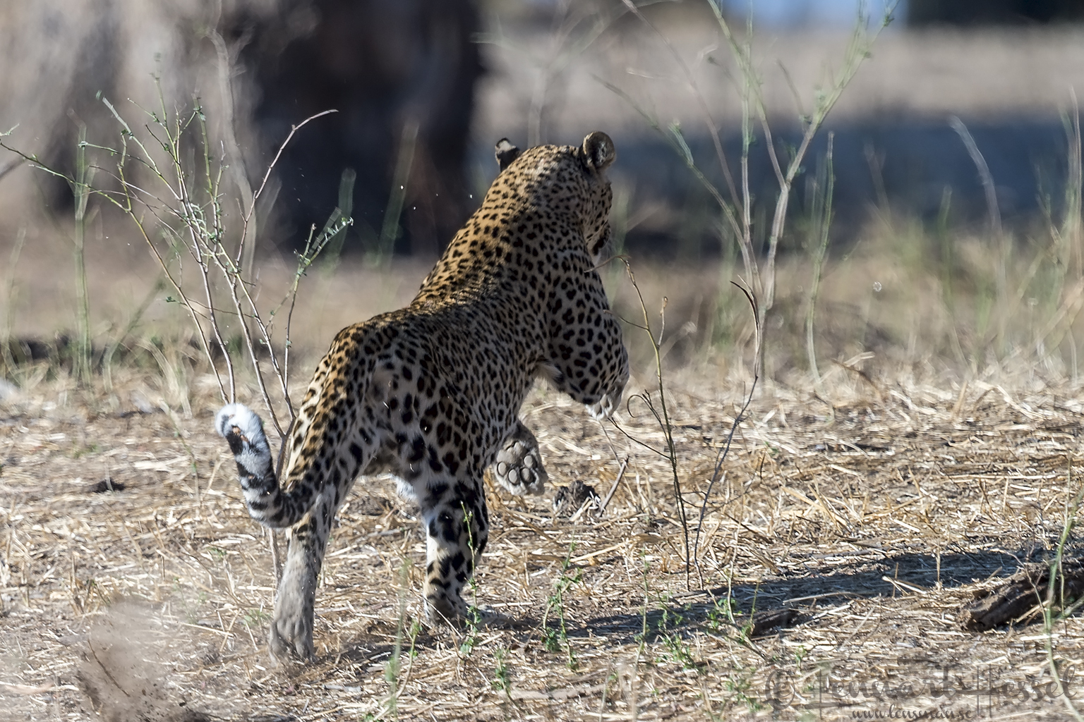 Leopardess Mana Pools National Park Zimbabwe