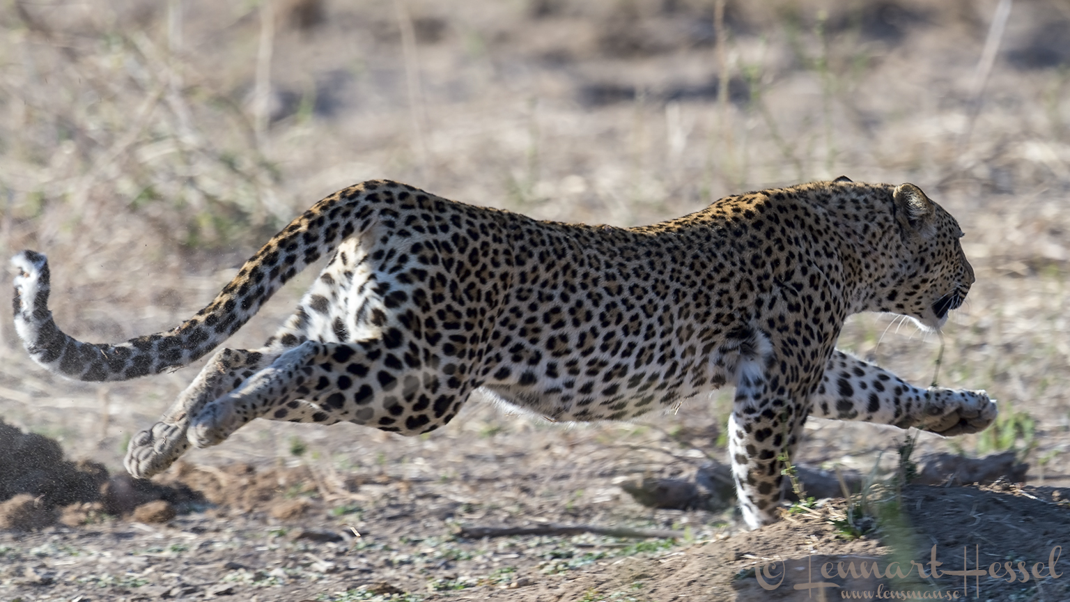 Running Leopardess Mana Pools National Park Zimbabwe