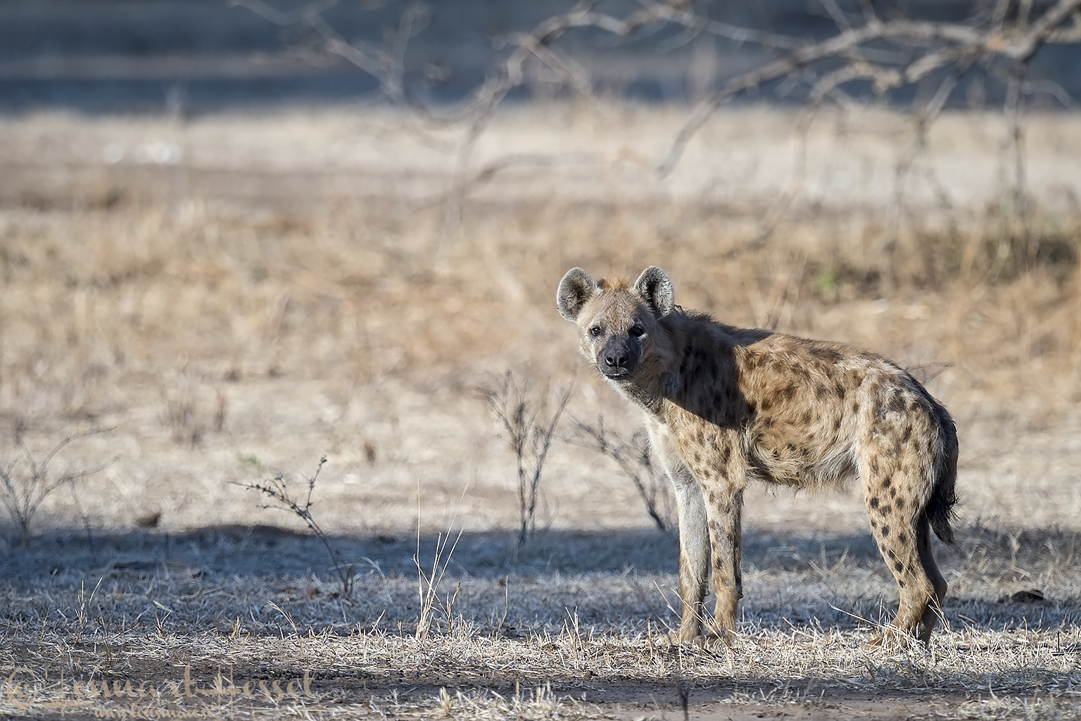 Spotted Hyena Mana Pools National Park Zimbabwe