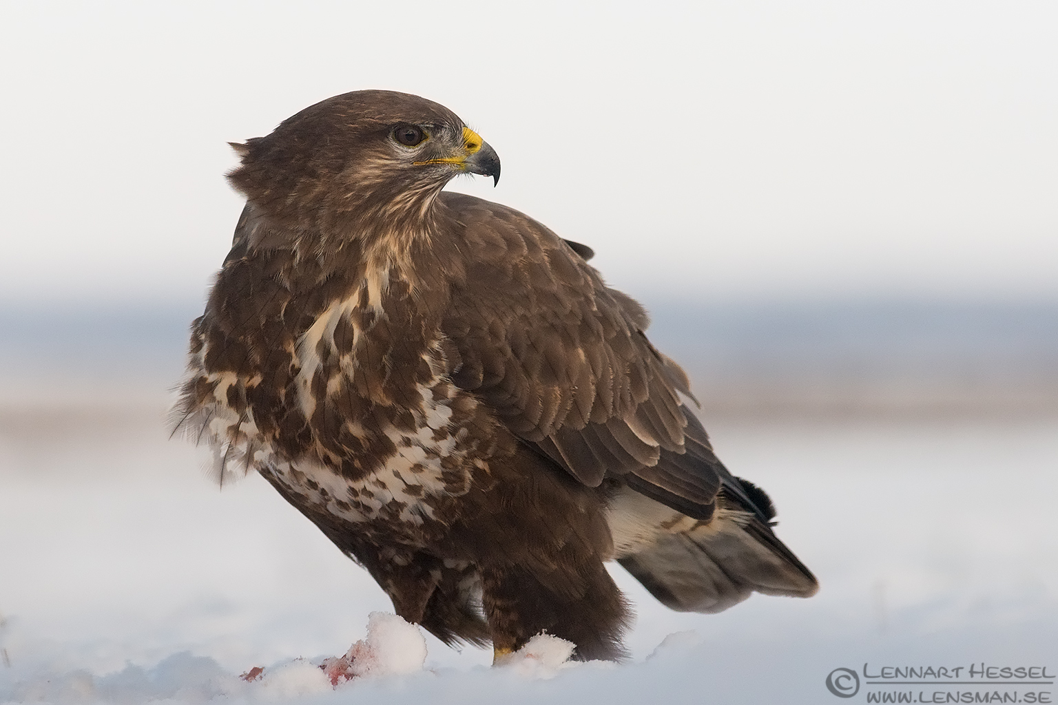 Common Buzzard Hungary Birds of Prey
