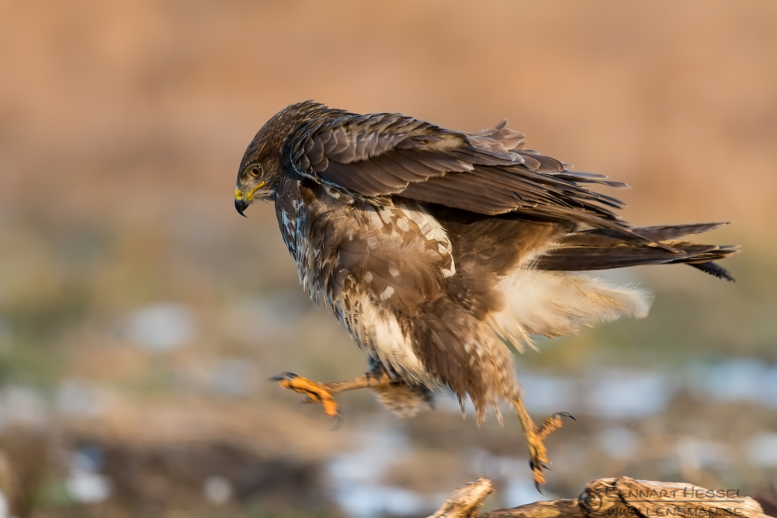 Jumping Common Buzzard Hungary Birds of Prey