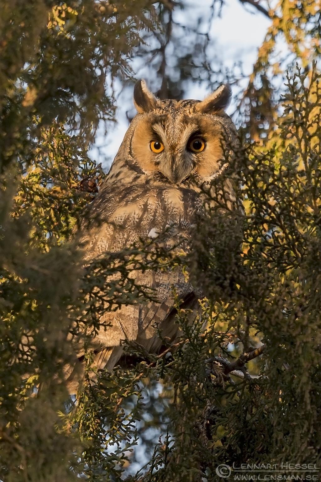 Sunning Long-eared Owl Hungary Birds of Prey